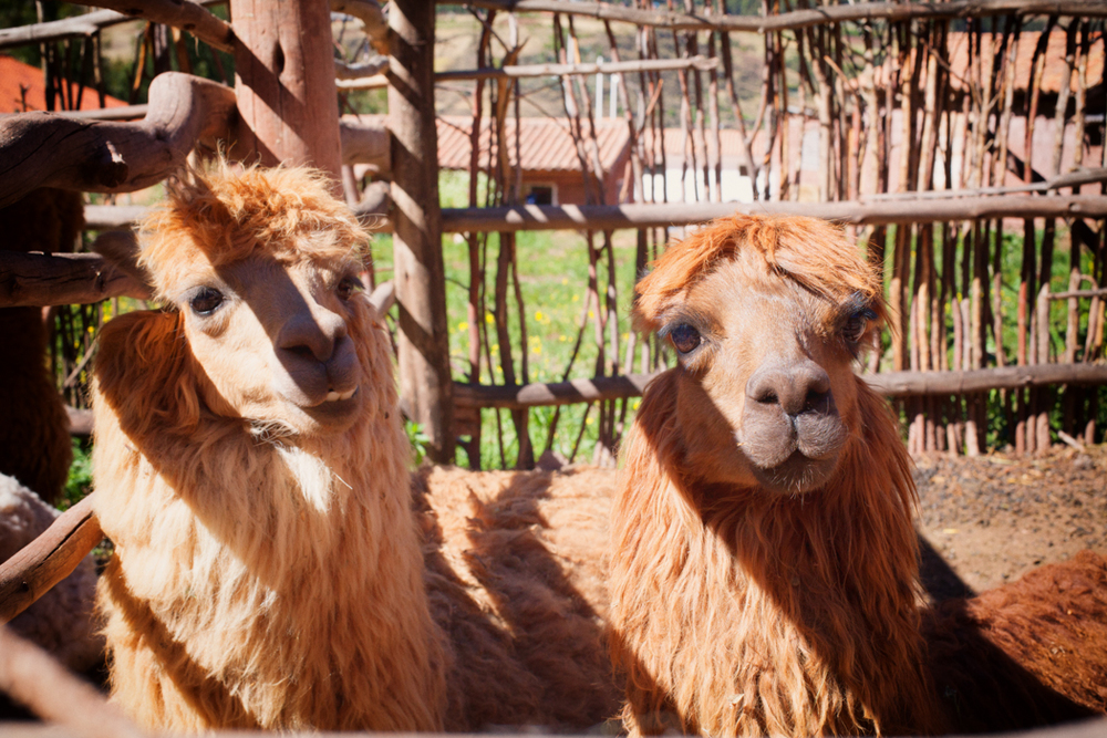 llamas have the best haircuts.