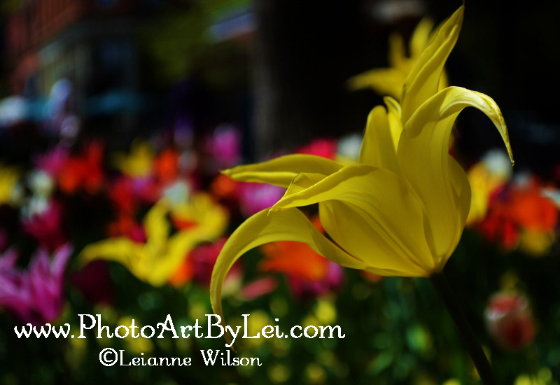 yellow-point-tulip (800x550).jpg