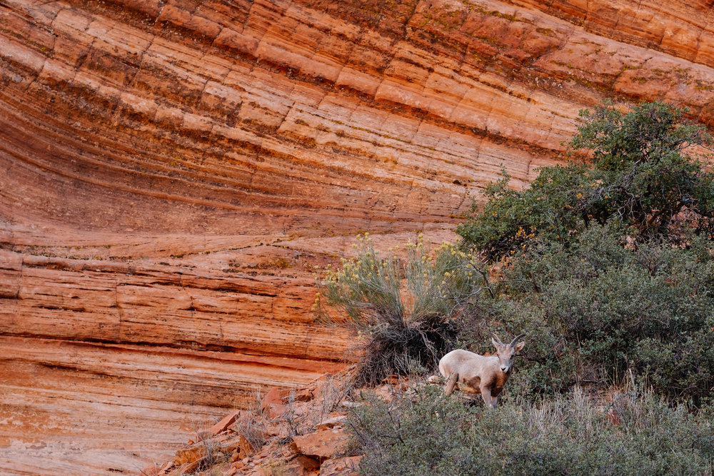 Lamb, Bighorn Sheep. Zion National Park. October, 2016 © Joseph Ferraro.