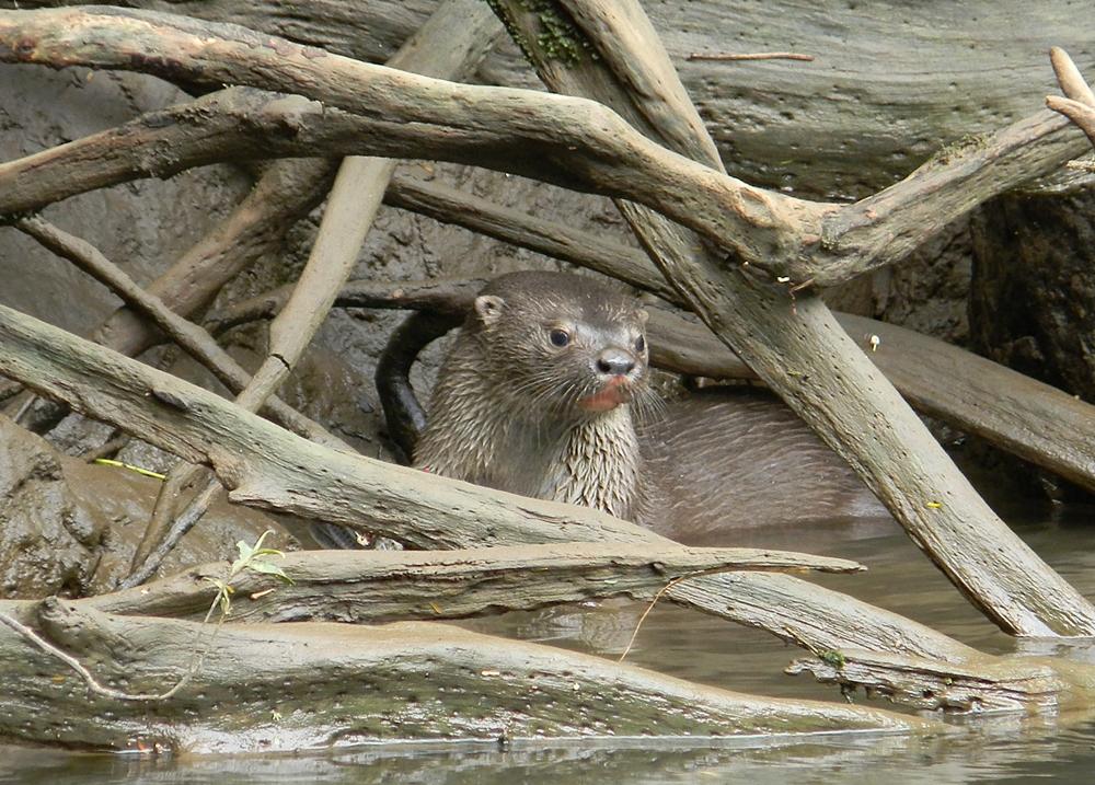 S.River-Otter.JPG