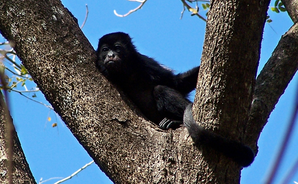 Golden-mantled.Howler.Monkey.female.BarraHonda.JPG