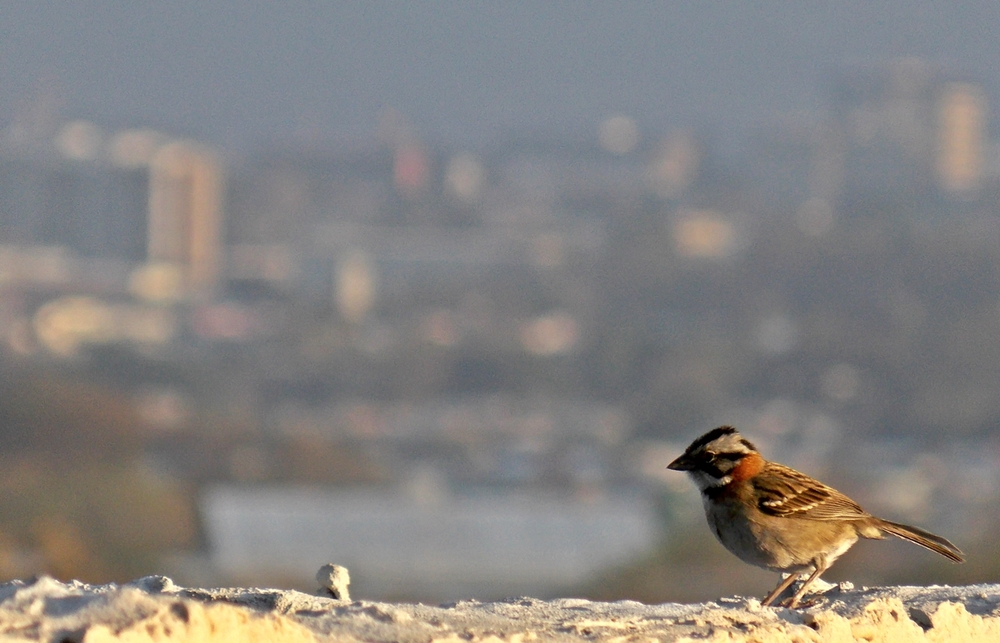 Rufous-collared.Sparrow.SanJose(background).JPG