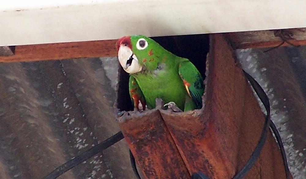 Crimson-fronted.Parakeet.Canas.13aug08.JPG