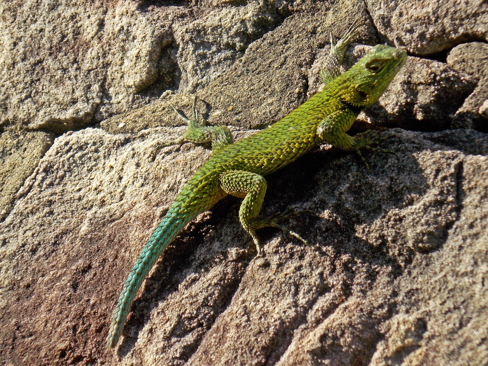 Emerald.Fence-lizard.male.StaFe (2).jpg