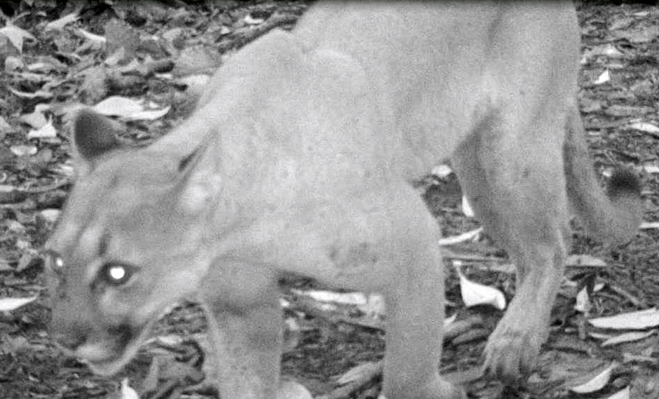Puma.camera-trap.CER.Pocosol.JPG