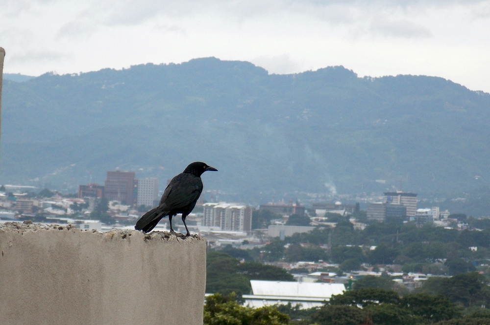 Great-tailed.Grackle.(male).SanJose.(background).2.JPG