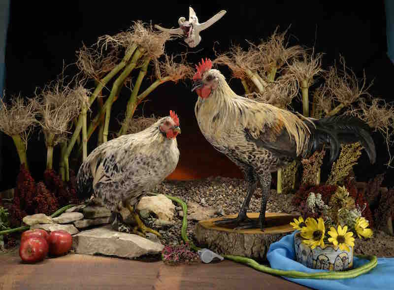 """Cowboy's Kids"" Matthew Hemminghaus 2016 Cowboy's Kids is exactly that. Both the roosters have Cowboy, our main rooster at the time as their father. Different mothers have resulted in two very different chickens. The image was made in late summer as my corn was shucked and apples were ripe for eating."