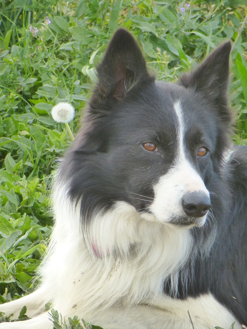 American Border Collie