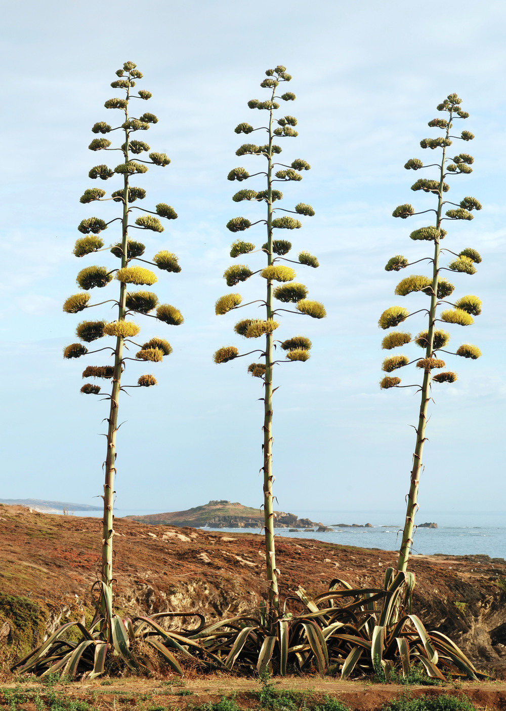 American Agave Plants