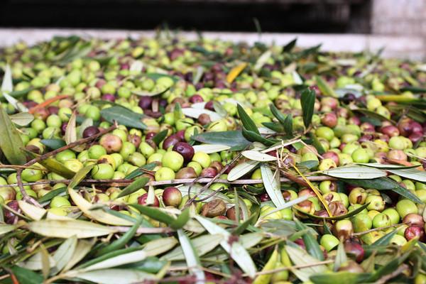 harvested olives.jpg