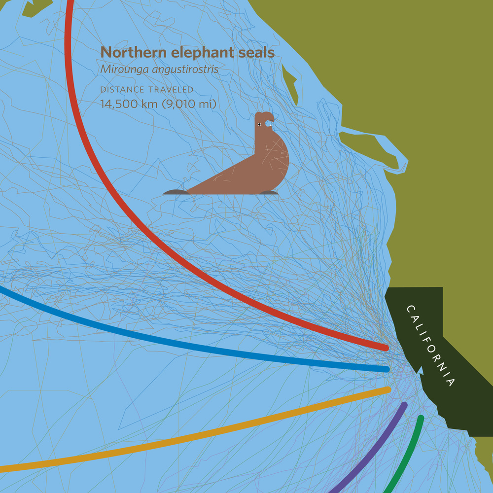 The thick  dataline represents the general migration of elephant seal populations, the thin datalines are from tagged individuals.