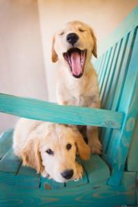 Photograph of Golden Retriever Puppies on Bench, Santa Fe, NM