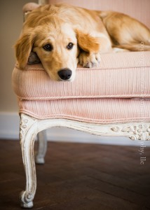 Portait of Golden Retreiver Puppy on Pink Chair