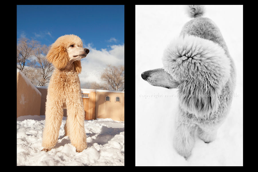 Diptych of Champagne colored poodle in the snow