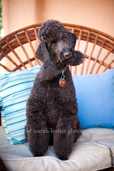 Portrait of black poodle on outdoor couch