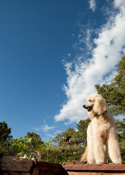 Portrait of blonde poodle with sky and clouds