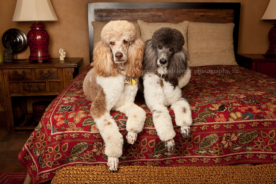 Portrait of 2 Party Poodles on Bed