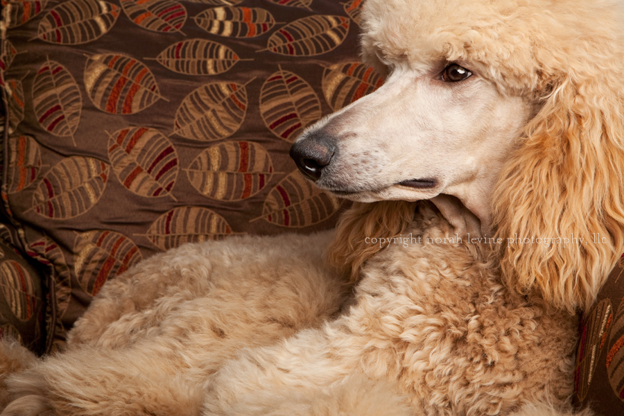 Profile Portrait of Champagne colored poodle