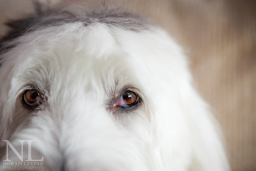 Old English Sheepdog Portraits — Fine Artist, Pet and Family