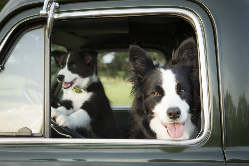 Two happy dogs in a car