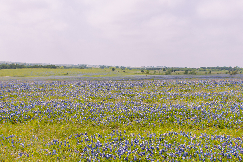 March Bluebonnets in Ennis, Texas via Caleigh's Corner