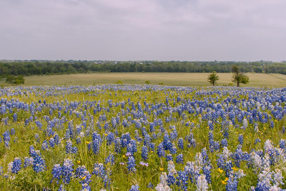 March Bluebonnets in Ennis, Texas via Caleigh's Corner