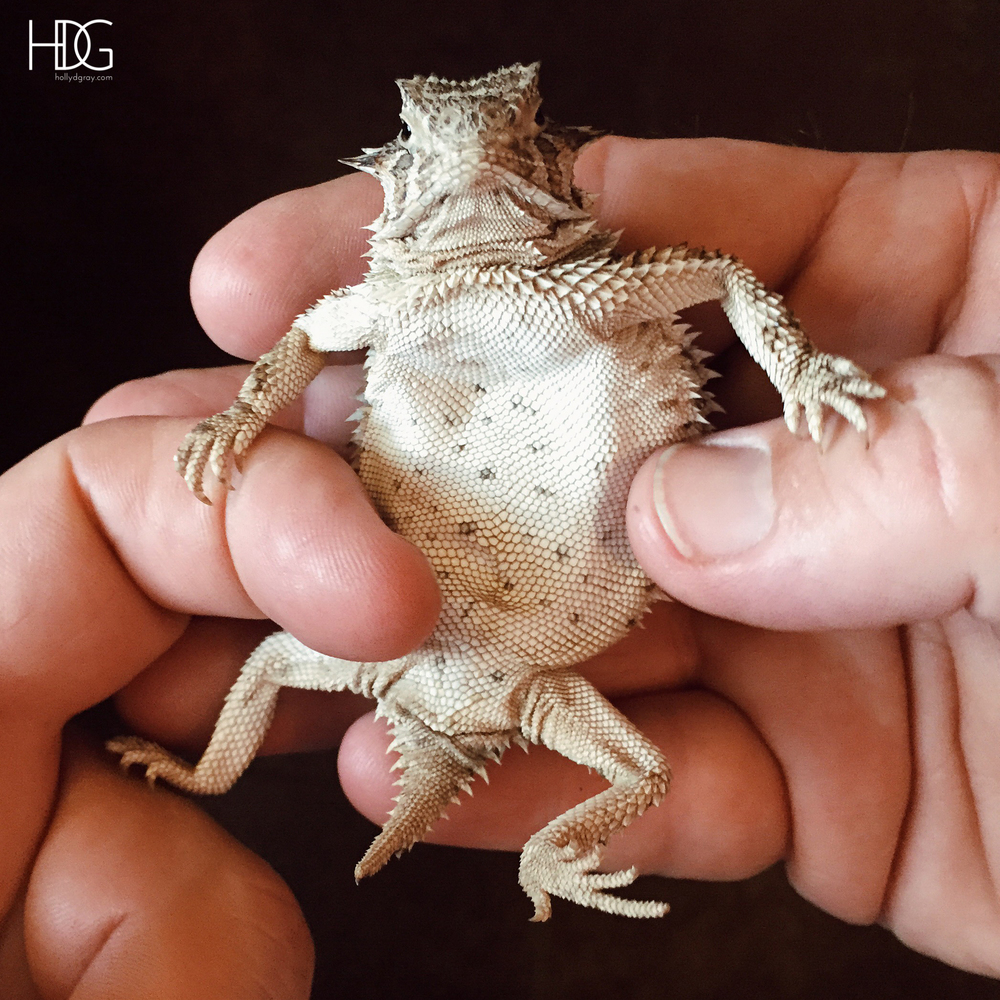 Texas Horned Toad, Horned Frog, Horny Toad, Horny Frog via Caleigh's Corner