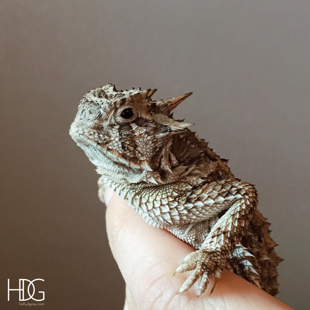 Baby Horned Toad Food