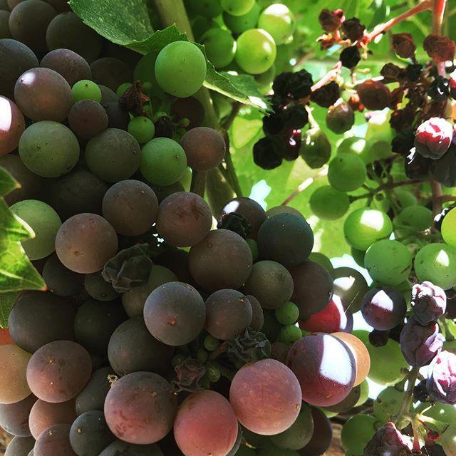 #bestofsantabarbara #wineenthusiast #grapes #rootedvinetours #santabarbarawinetour #santaynez #losolivos #santabarbara #vineyard
