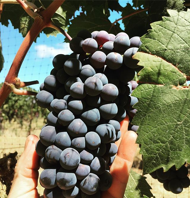 Dolcetto looking delicious @mosbywine 🍇 #rootedvinetours #seesb #visitsyv #winetours #grapes #wine #California #bestofsantabarbara #savewaterdrinkwine