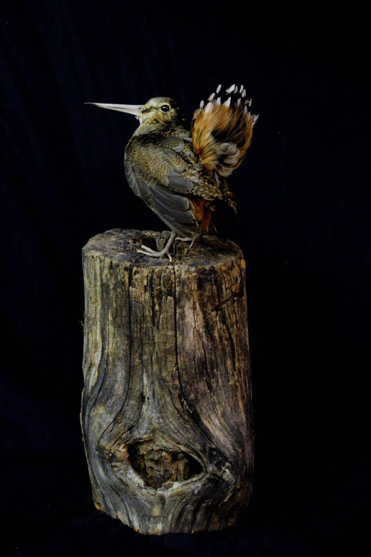 woodcock1.jpg