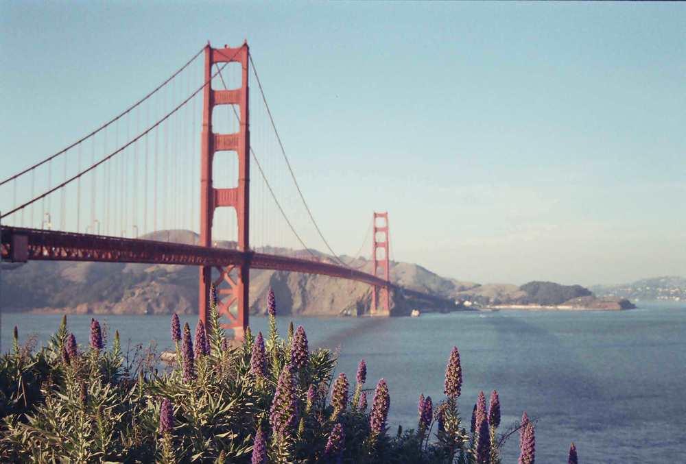 Lavender at the Golden Gate Bridge
