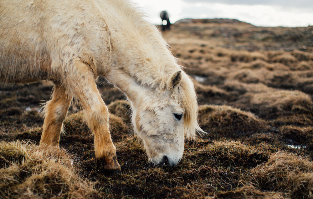 49. Doug Klembara, Icelandic Pony.jpg