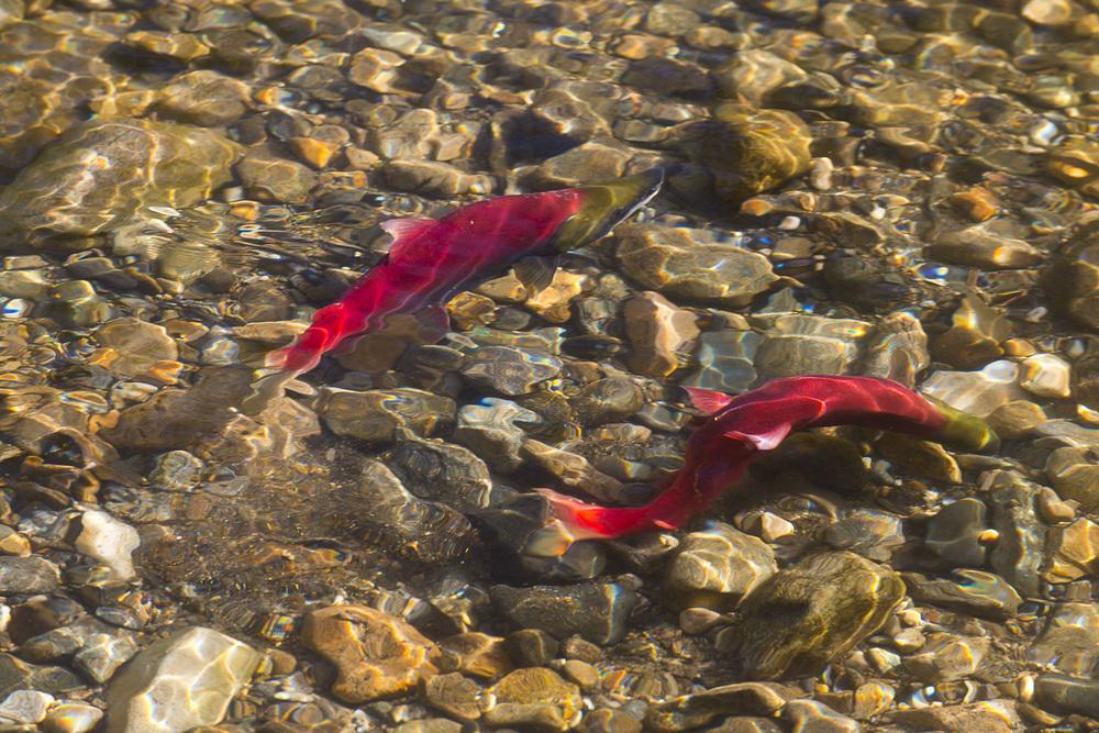 Adams River Salmon Run 2014. Professional Photogrpahy. Brad Hill