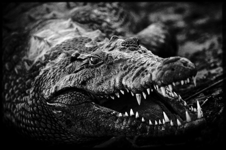 We placed a Black & White image of a crocodile next to Scarification images that created visual links between the two images.