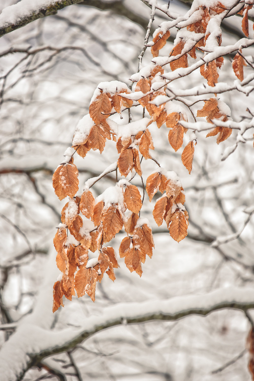 Fall leaves covered in snow