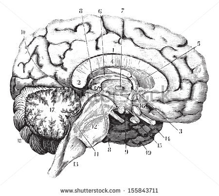 stock-vector-middle-and-anterior-posterior-section-of-the-brain-vintage-engraved-illustration-usual-medicine-155843711.jpg