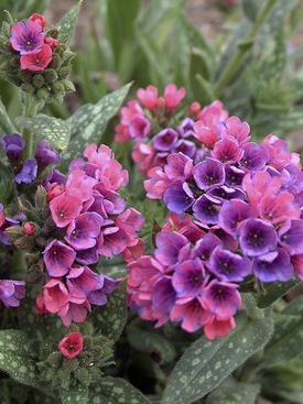 pulmonaria rasberry Flash
