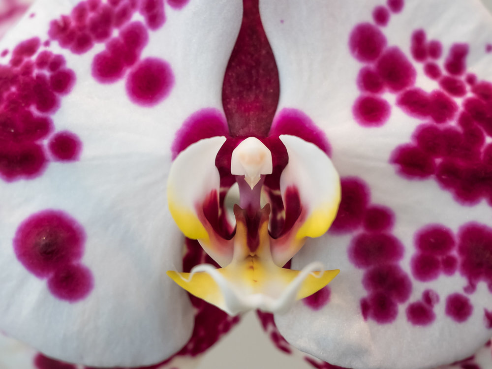 Brookside Orchid Show 2017-8.jpg