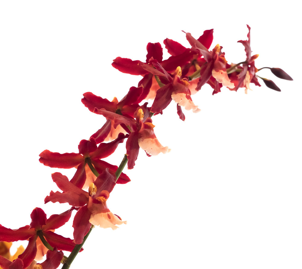 Brookside Orchid Show 2017-11.jpg