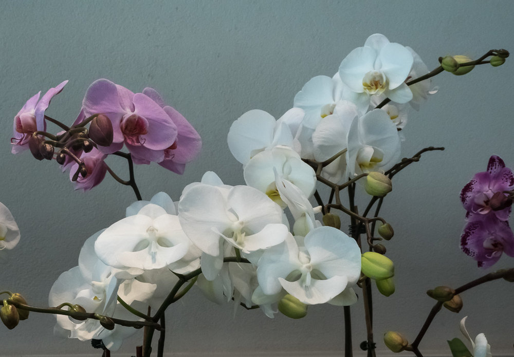 Brookside Orchid Show 2017-14.jpg