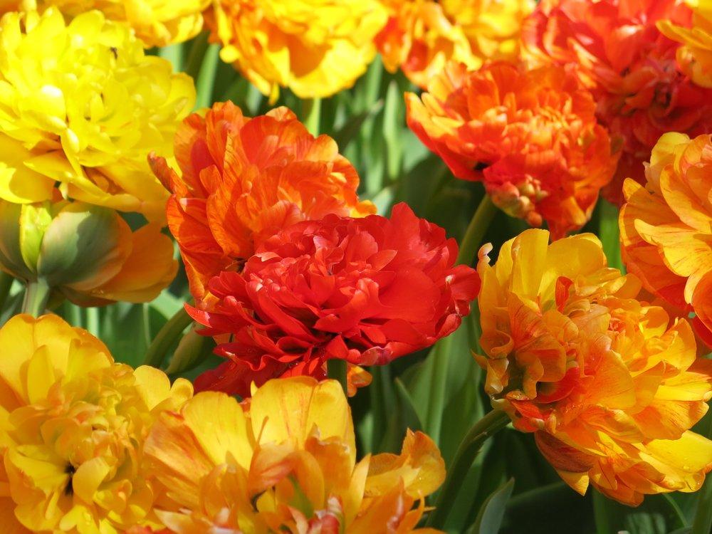 vivid_tulips.jpg