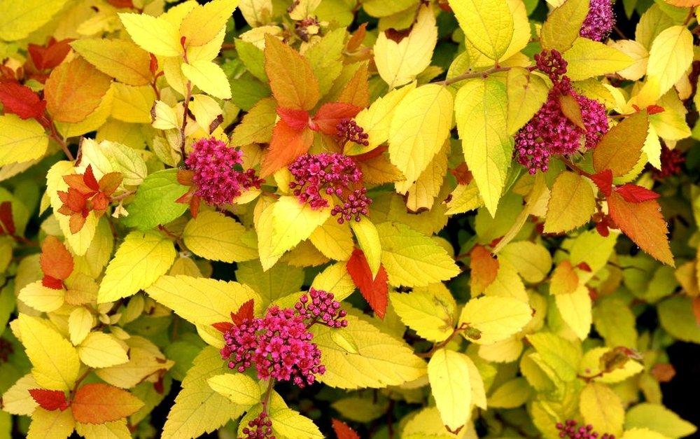 aphrodite-sweetshrub-2a-900.jpg
