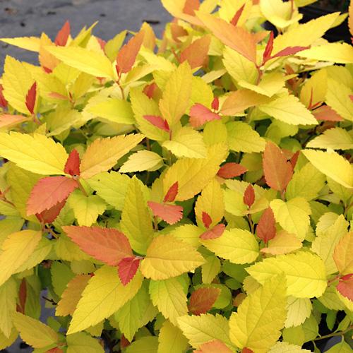 calycanthus-aphrodite-sweetshrub-aphrodite-3.jpg