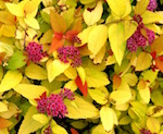double_play_candy_corn_spirea_small.jpg