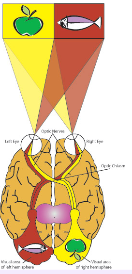 The split-brain studies wouldn't work if the participants were allowed to move their eyes or heads, because then both stimuli could reach both sides of the brain. But as long as a participant stares straight ahead and the presentation of the stimuli is brief, light from the stimulus to the person's right will impact on the left side of the retina in each eye and only stimulate neural pathways leading to the left visual cortex (red shading in the diagram). And under these special conditions, light from the stimulus to the person's left will be received on the right side of each retina and stimulate neurons leading only to the right visual cortex (yellow shading in diagram).