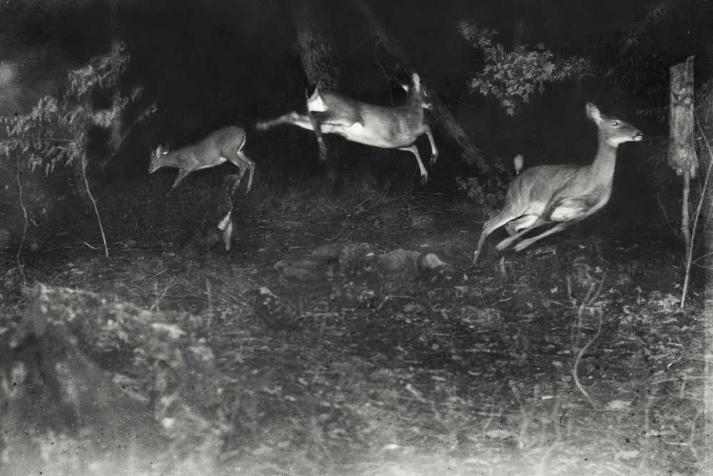 Deer Leap in Earliest Nighttime Flash Photography , 1906