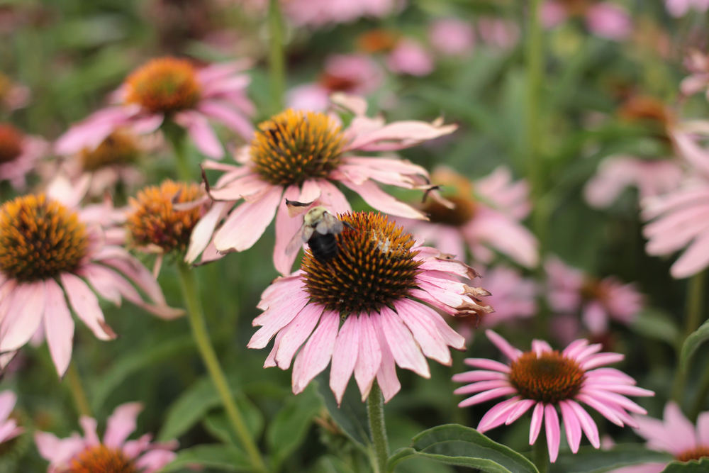 Bees on Pink Coneflowers