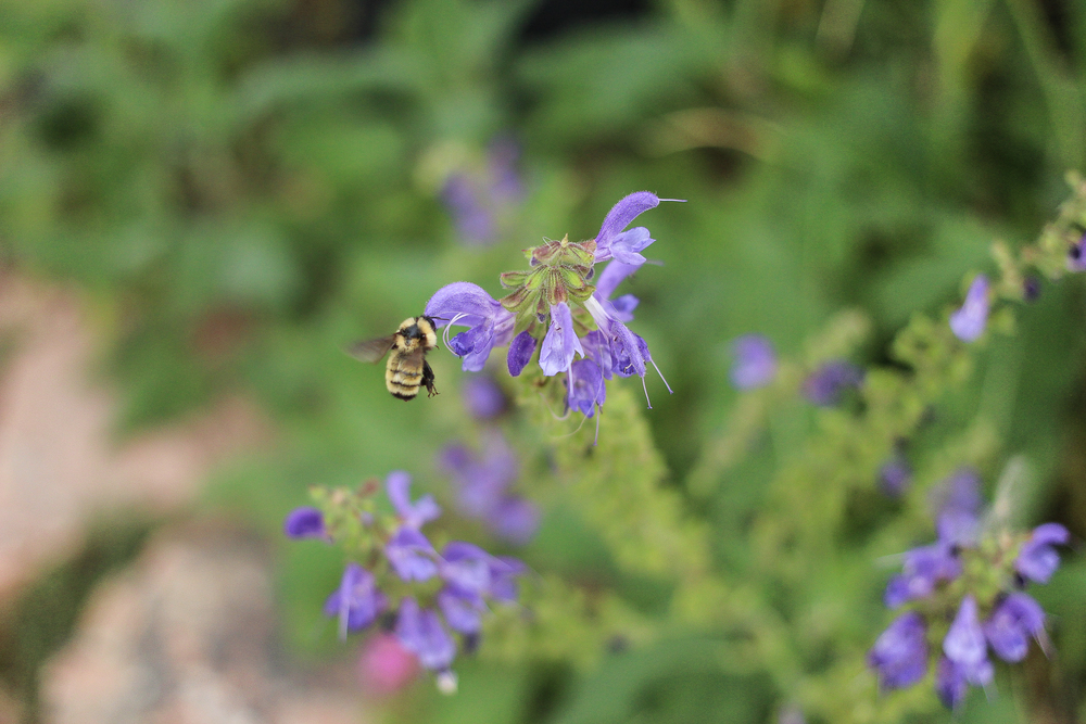 Purple flowers & hungry bees