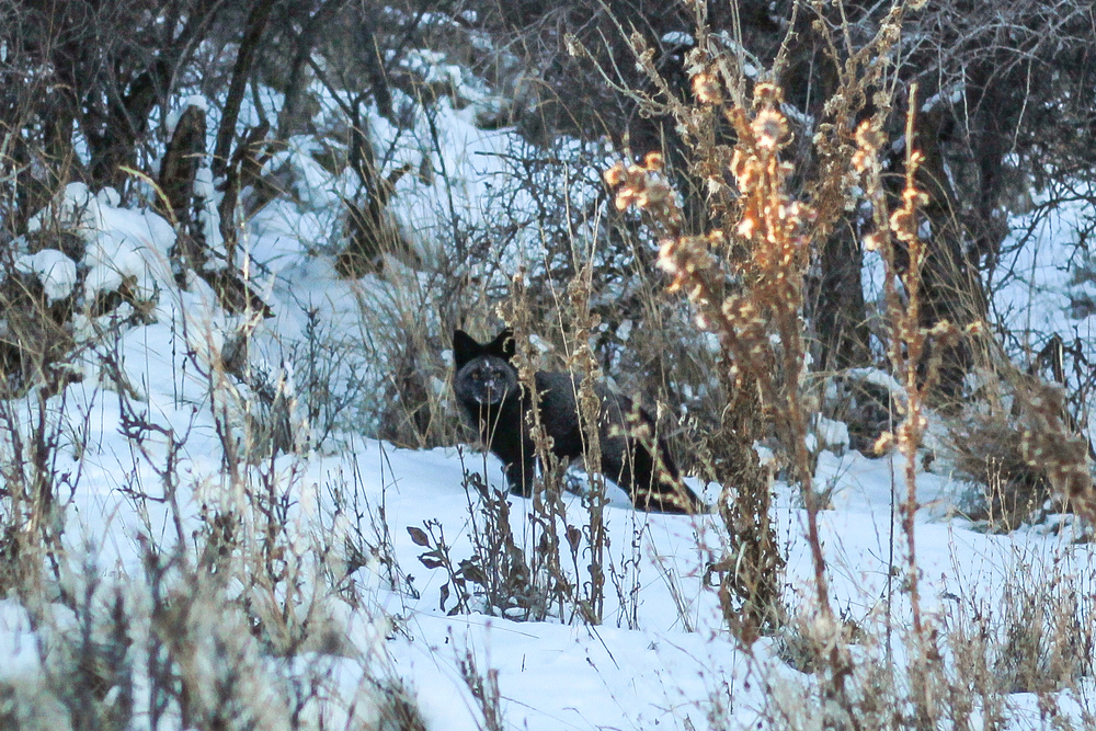 A rare black fox I saw running through the snow, very unusual to spot and difficult to photograph.